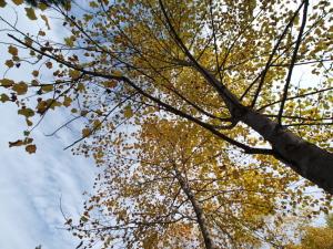ユリノキ@神戸市立森林植物園(シアトルの森)