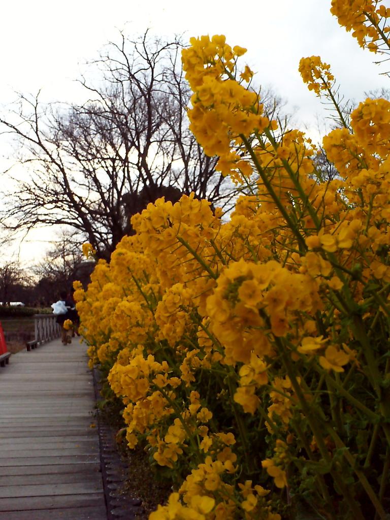 菜の花@長居植物園