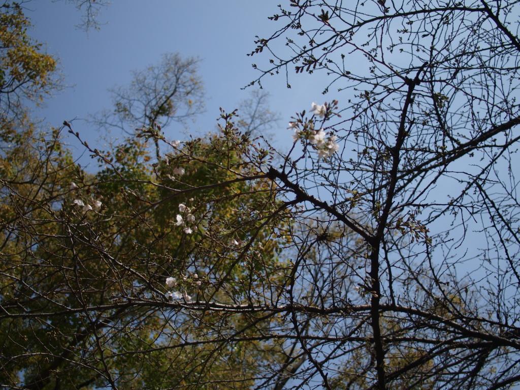 ソメイヨシノ(ちょこっと咲いています。)