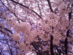 桜 by AGFA 505-D