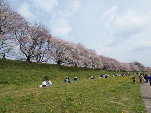 桜@八幡市背割堤