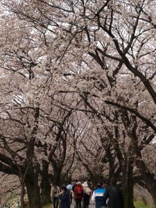 桜のトンネル@背割堤