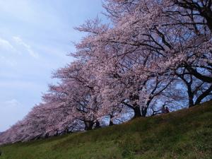 桜@八幡市・背割堤