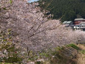 宇陀川沿いの桜