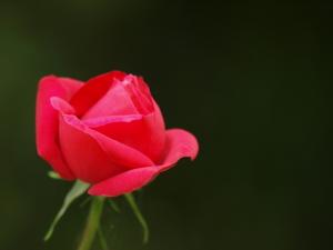 靱公園の薔薇