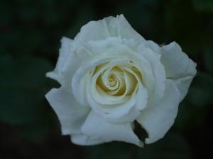 ホワイト・ライトニン@長居植物園