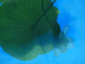 水面に映った蓮